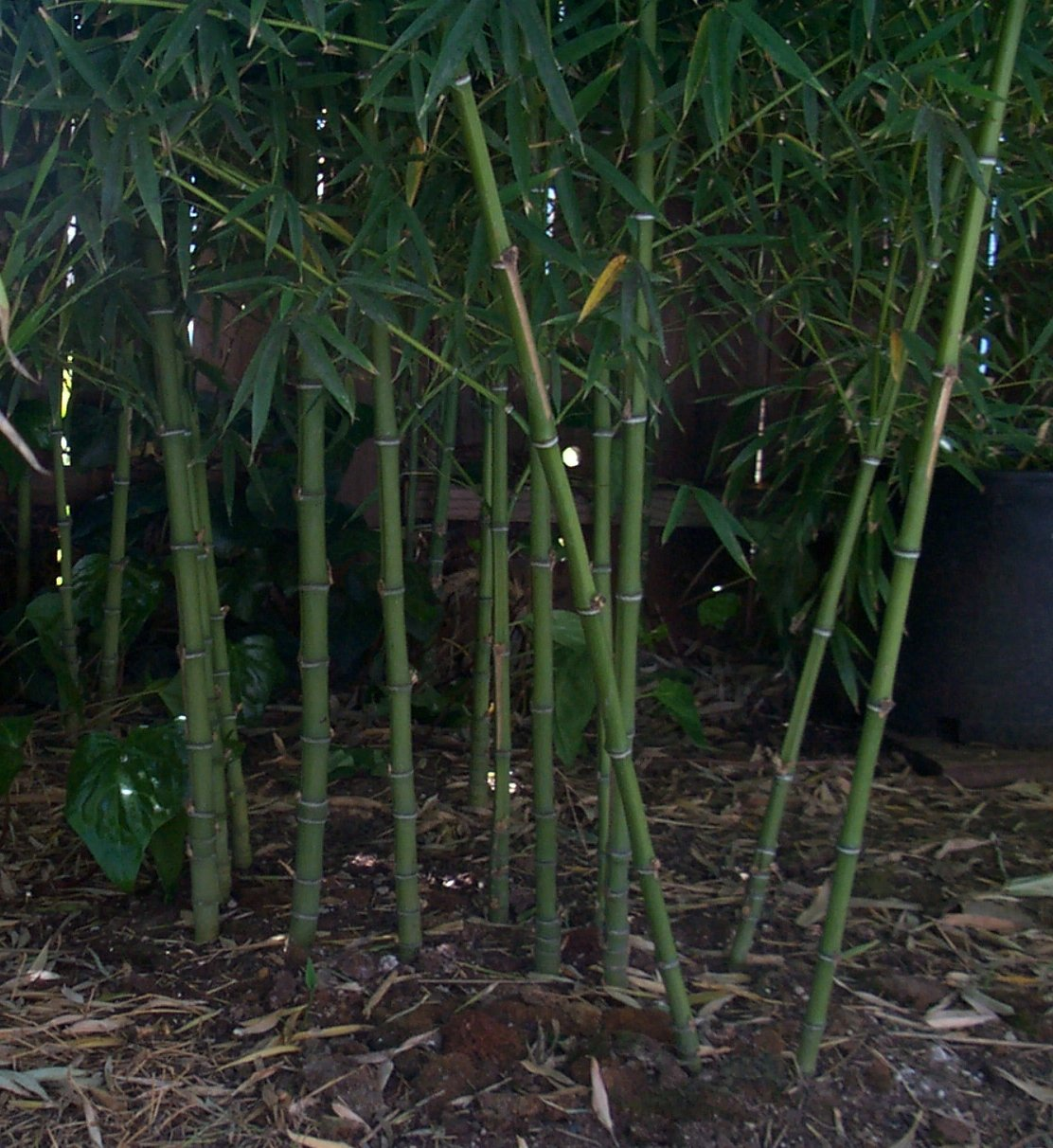 davis bamboo phyllostachys aurea. Black Bedroom Furniture Sets. Home Design Ideas